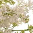 white lilac — Stock Photo