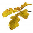 Autumn twig of oak — Stock Photo
