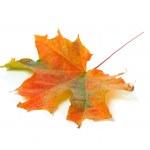 höstens färgglada lönnlöv — Stockfoto #2429419