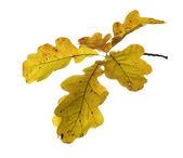 Autumn twig of oak — Stock Photo