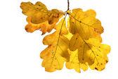 Autumn oak twig — Stock Photo