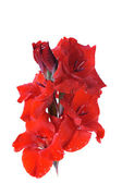 Red gladiolus — Stock Photo