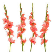 Pink gladiolus — Stock Photo