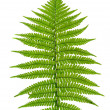 Leaf of fern — Foto de Stock