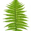 Leaf of fern — 图库照片