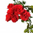 Bunch of red roses — Stock Photo #2430249