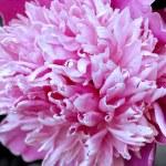 Pink peony — Stock Photo #2430280