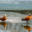 Roody shelduck - Stockfoto