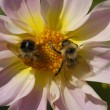 Two bee   close-up - Stock Photo