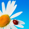 Stock Photo: Ladybird on daisy