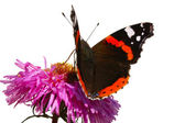 Butterfly on pink flower — Stock Photo