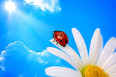 Ladybird on daisy — Stock Photo