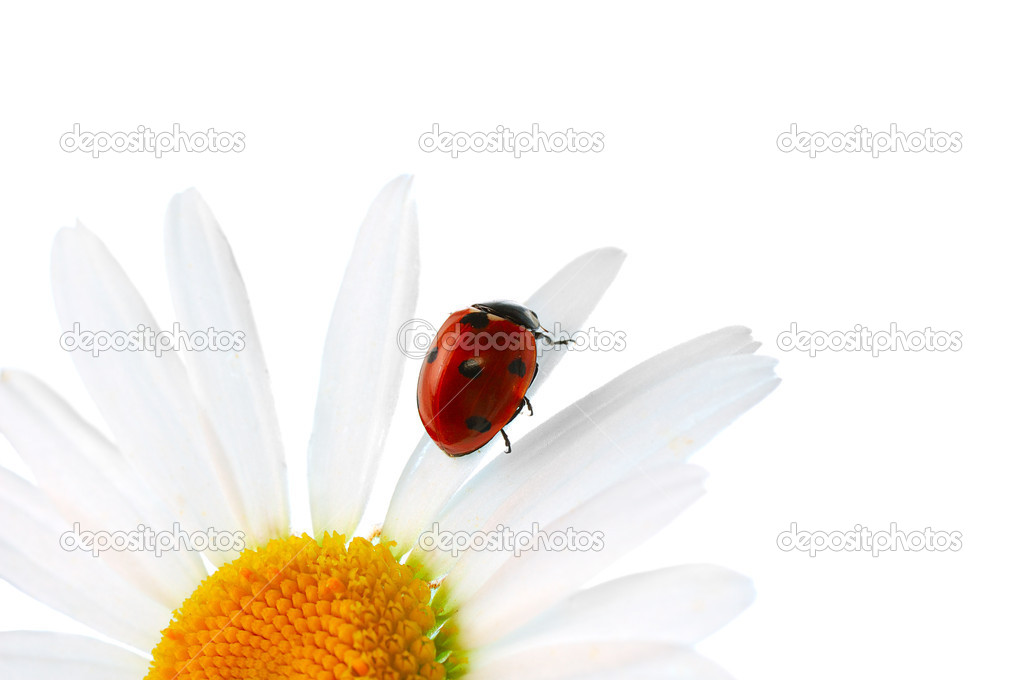 Ladybird on daisy  — Stock Photo #2555558