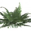 Green Forest Fern — Stock Photo #2639885