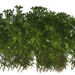 Green Plant Shrub — Stock Photo