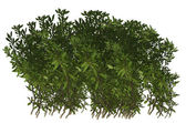 Green Plant Shrub — Foto de Stock
