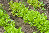 Rows of lettuce — Stock Photo