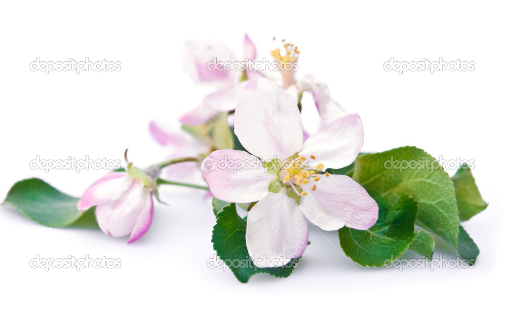 Apple tree blossom isolated on white background — Stock Photo #2422660