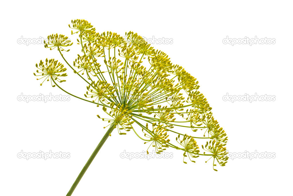 Bloom from the dill plant isolated — Stock Photo #2423010