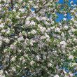 Apple tree blossom — Stock Photo #2534217