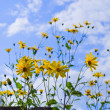 Stock Photo: Yellow daisies