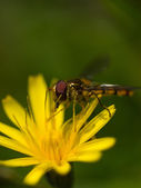 Fly on yellow flower — Stock Photo
