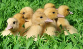 Little ducklings — Stock Photo