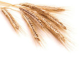 Wheat ears on a white background — Stock Photo