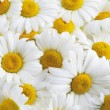 Stock Photo: Background of white daisies