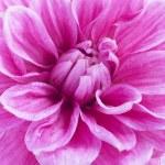 Close up of purple dahlia — Stock Photo