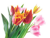 Spring Flowers Tulips — Stock Photo