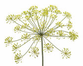 Fennel flower on white background — Stock Photo