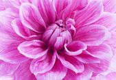 Close up of purple dahlia — Stock Photo