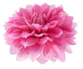 Pink dahlia on white background — Stock Photo