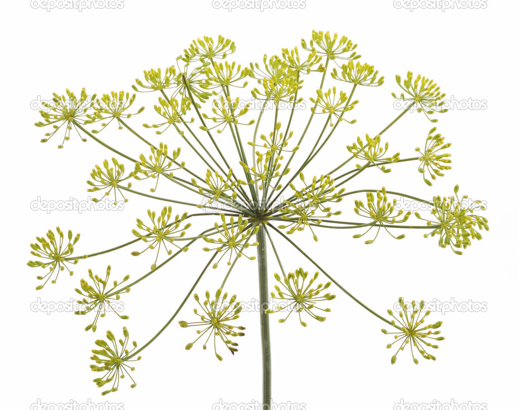 Fennel Flower Fennel flower on white