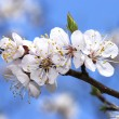 Cherry tree branch in bloom - Stock Photo