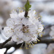 Cherry tree branch in bloom — Stock Photo #2501640