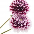 Stock Photo: Purple dahlia.