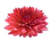 Red dahlia on white background — Stock Photo