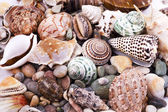 Various seashells — Stock Photo