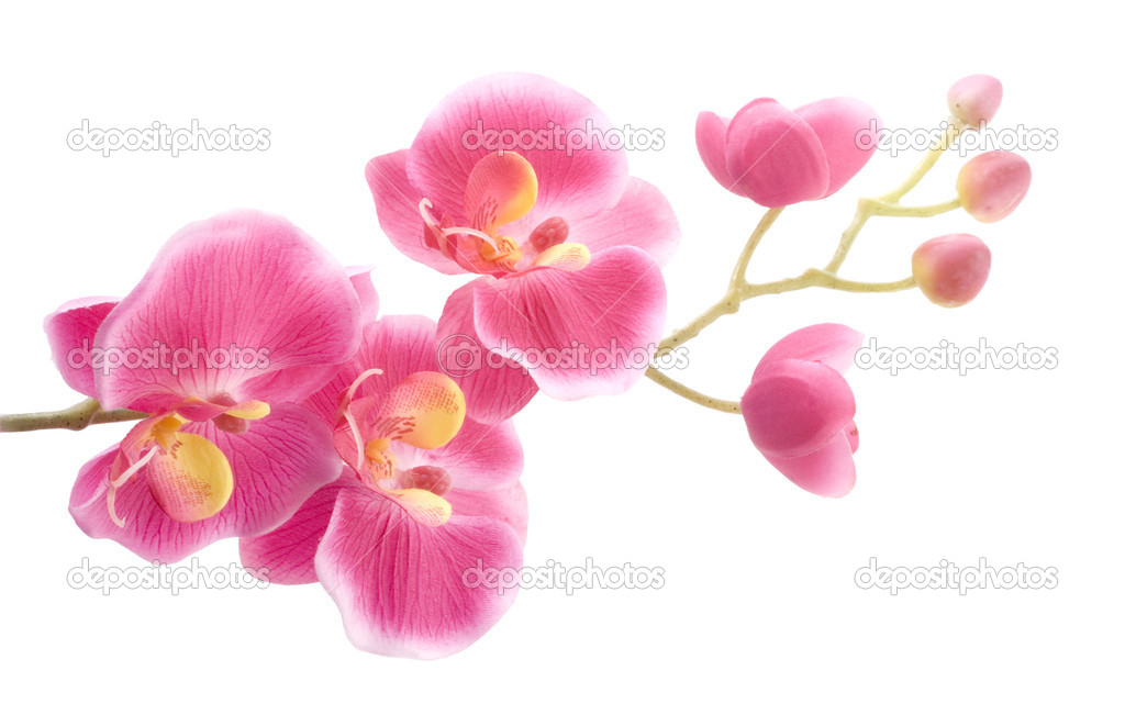 Pink orchid on a white background  Stock Photo #2544215