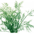 Bunch of dill — Stock Photo #2554478