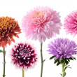 Set of dahlia flowers - Stock Photo