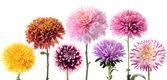 Set of dahlia flowers — Stock Photo