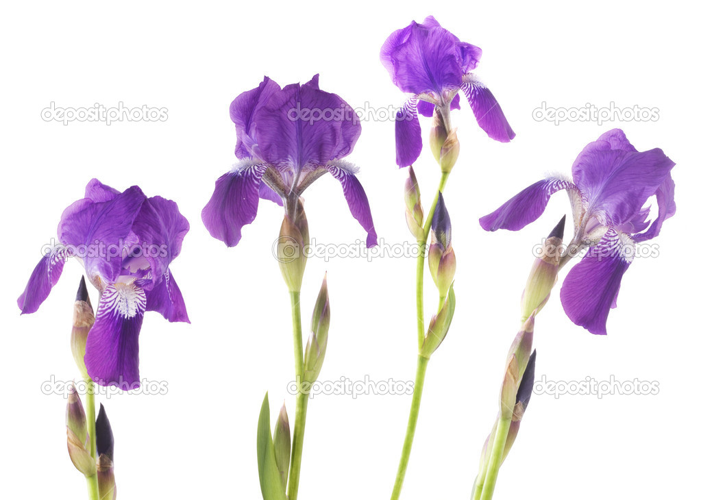Iris  Lizenzfreies Foto #2574229