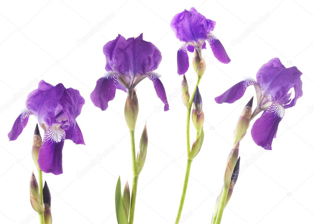 Iris  Stockfoto #2574229