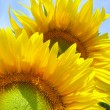 Two sunflowers over blue sky — Stock Photo