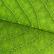 Texture of green leaf — Stock Photo