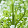 Grass and white flowers — Stock Photo #2617463