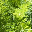 Stock Photo: Green fern background